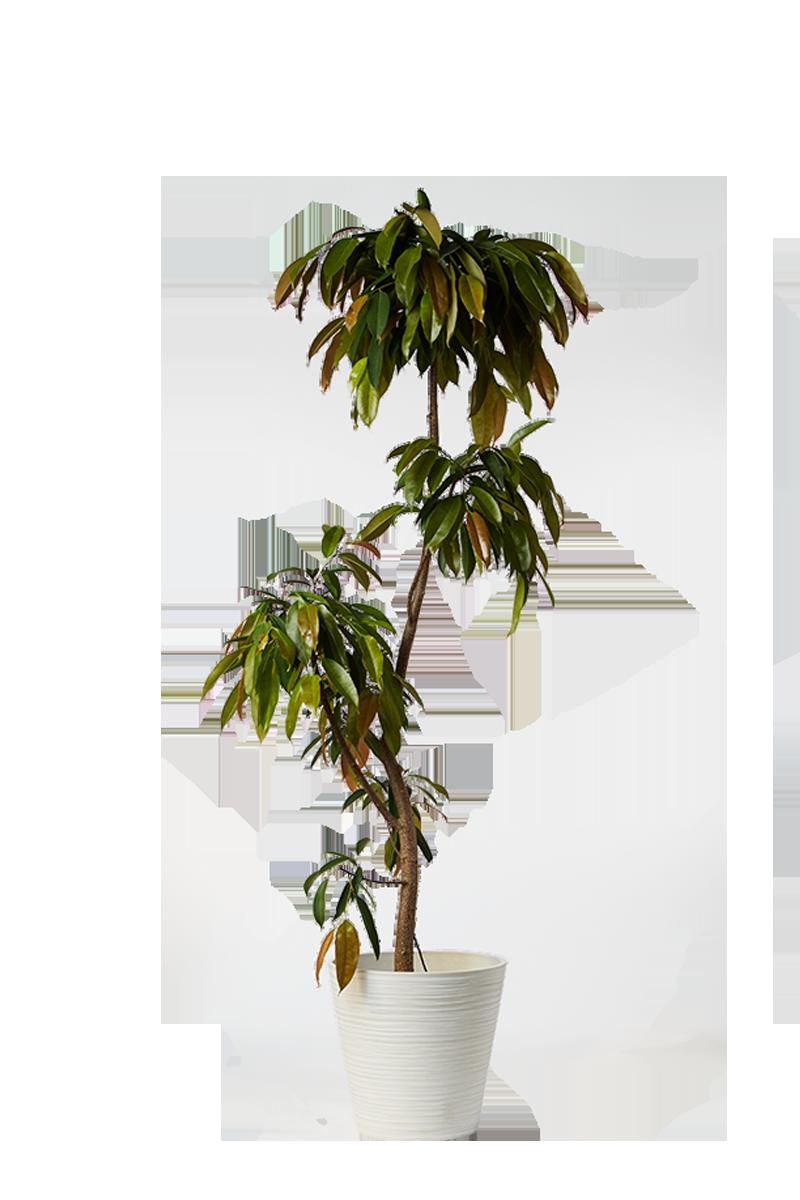 ウンナンシュロ竹