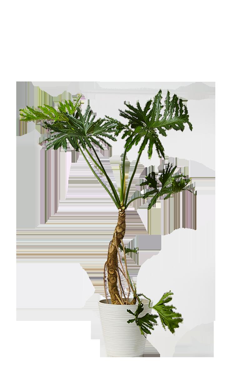 ステノカルプス
