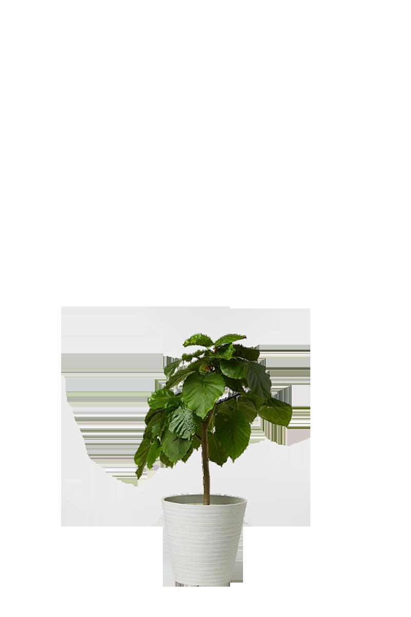 ウンベラータ