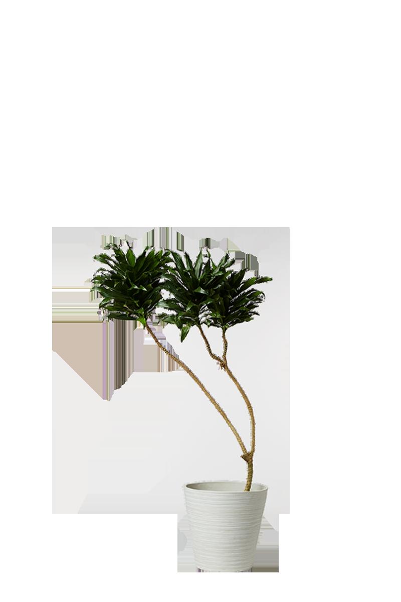 ドラセナ コンパクタ