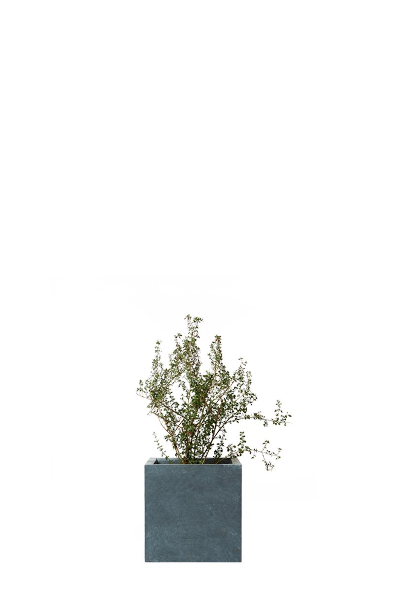シルバープリペット