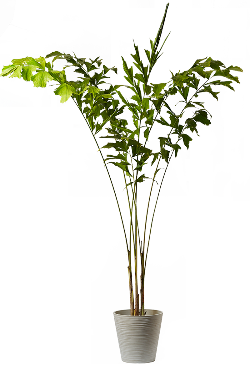 ドラセナカンボジアーナ