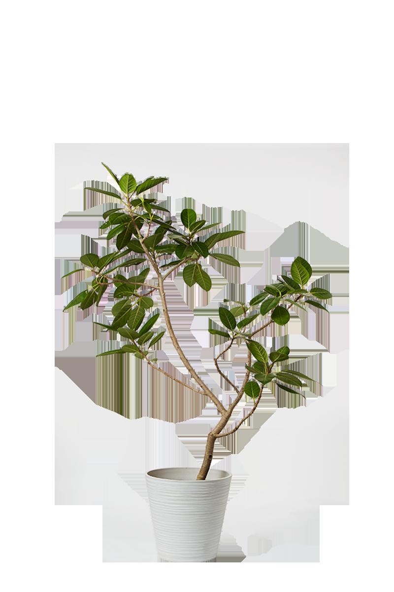 パラオ ドラセナ