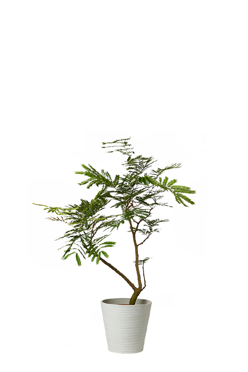 アマゾンオリーブ