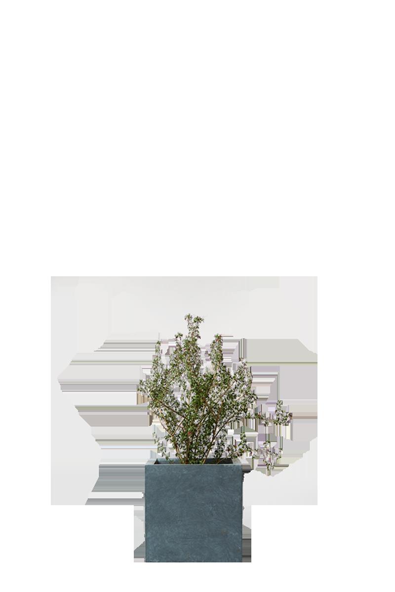 ソルトブッシュ